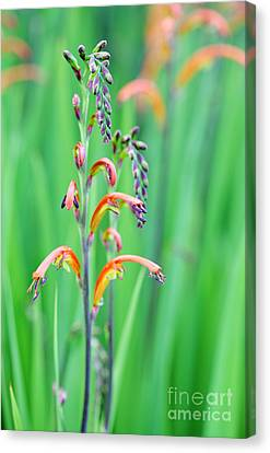 Yellow Cobra Canvas Print - Two-colour Cobra Lily by Neil Overy