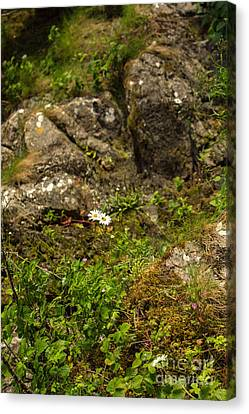 Two Daisies And A Rock Canvas Print by Iris Richardson