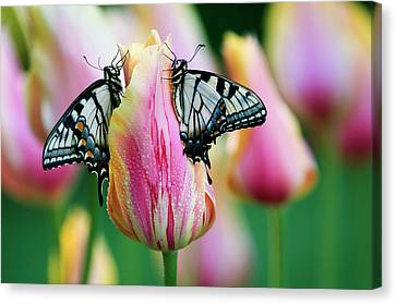 Tiger Swallowtail Canvas Print - Two Eastern Tiger Swallowtail by Jaynes Gallery