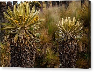 Ruiz Canvas Print - Two Espeletia Plants by Jess Kraft