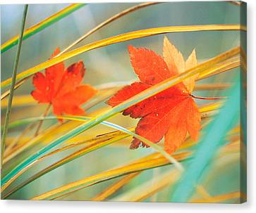 Two Fall Orange Fall Leaves Amid Yellow Canvas Print by Panoramic Images