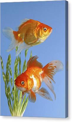 Two Fish Fs101 Canvas Print by Greg Cuddiford