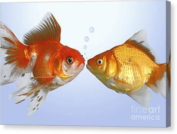 Two Fish Kissing Fs502 Canvas Print by Greg Cuddiford
