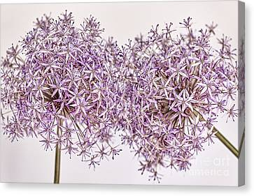 Two Flowering Onions Canvas Print by Elena Elisseeva
