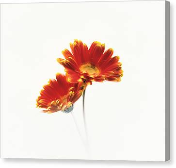 Two Flowers Head Against White Canvas Print by Panoramic Images