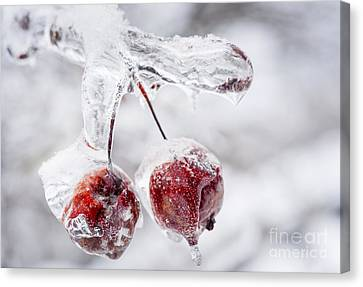 Two Frozen Crab Apples  Canvas Print by Elena Elisseeva