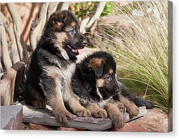 Two German Shepherd Puppies On A Rock Canvas Print