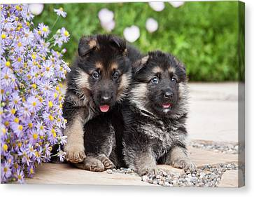 Two German Shepherd Puppies Sitting Canvas Print by Zandria Muench Beraldo