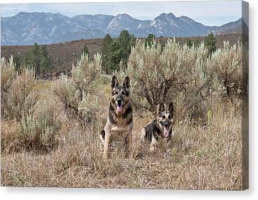 Two German Shepherds Together Canvas Print by Zandria Muench Beraldo