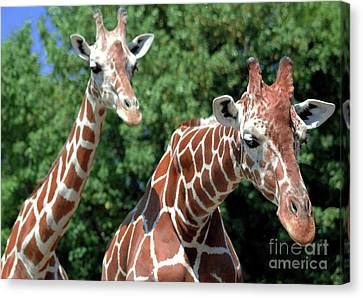 Two Giraffes Canvas Print by Kathleen Struckle