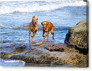 Two Golden Retriever Dogs Running On Beach Rocks Canvas Print by Susan Schmitz