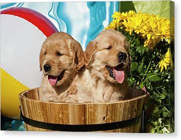 Two Golden Retriever Puppies Sitting Canvas Print by Zandria Muench Beraldo