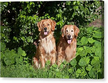 Two Golden Retrievers Sitting At A Park Canvas Print by Zandria Muench Beraldo