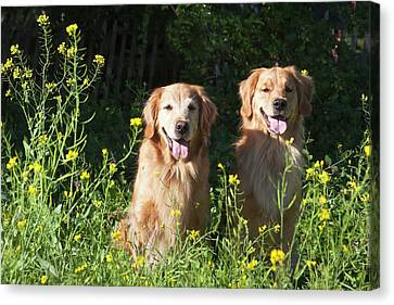 Two Golden Retrievers Sitting Together Canvas Print by Zandria Muench Beraldo