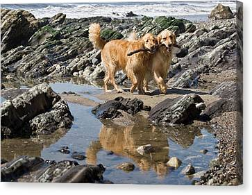 Two Golden Retrievers Walking Together Canvas Print by Zandria Muench Beraldo