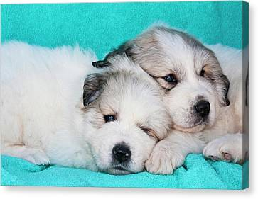 Two Great Pyrenees Puppies Lying Canvas Print by Zandria Muench Beraldo