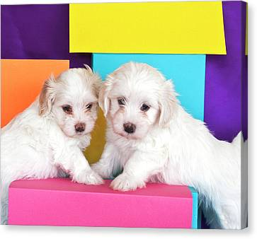 Two Havanes Puppies With Colorful Canvas Print by Zandria Muench Beraldo