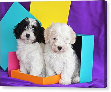 Two Havanese Puppies Sitting Together Canvas Print by Zandria Muench Beraldo