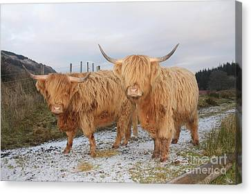 Two Highland Cows Canvas Print by David Grant