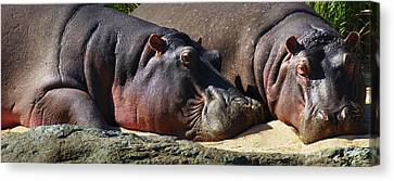 Two Hippos Sleeping On Riverbank Canvas Print