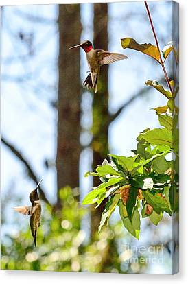 Two Hummingbirds In Flight Sparring Fight Canvas Print by Wayne Nielsen