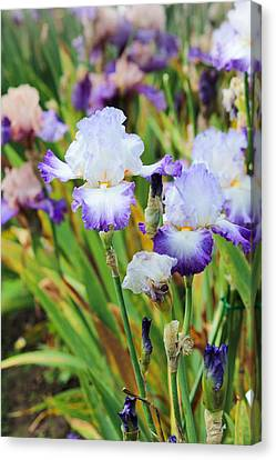 Canvas Print featuring the photograph Two Iris by Patricia Babbitt