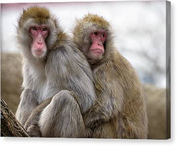 Two Japanese Macaques Huddling Canvas Print by Rona Schwarz