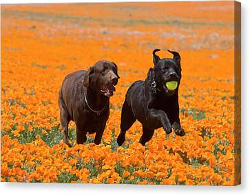 Two Labrador Retrievers Running Canvas Print by Zandria Muench Beraldo