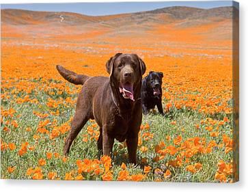 Two Labrador Retrievers Standing Canvas Print by Zandria Muench Beraldo