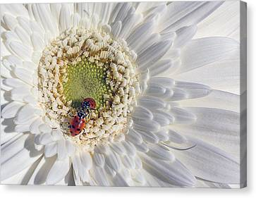 Two Ladybugs Meet Canvas Print by Garry Gay
