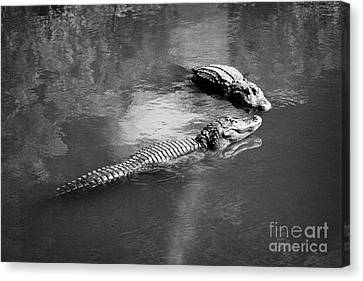 Two Large American Alligators Standing On Underwater Log Near Water Surface Florida Usa Canvas Print by Joe Fox