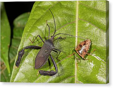 Two Leaf-footed Bugs Canvas Print by Dr Morley Read