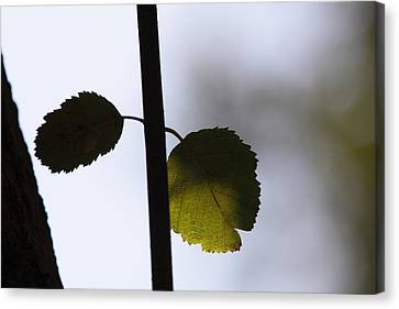 Two Leaves Canvas Print by Ulrich Kunst And Bettina Scheidulin