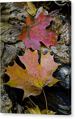 Two Leaves Canvas Print by Larry Bohlin