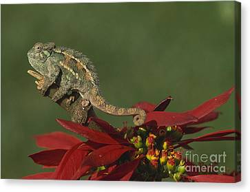 Two-lined Chameleon Canvas Print