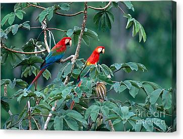 Two Macaws Canvas Print