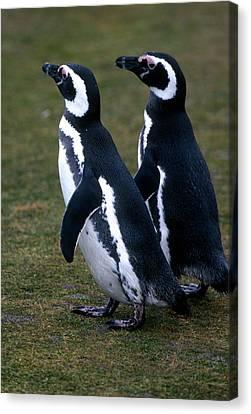 Two Magellanic Penguins, Spheniscus Canvas Print by Cagan H. Sekercioglu