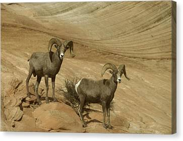 Two Male Rams At Zion Canvas Print by Jeff Swan