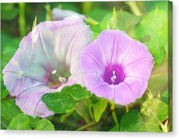 Two Morning Glories Canvas Print by Susan D Moody