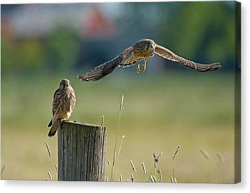 Bird Of Prey Canvas Print - Two Of A Kind Leaving One Behind by Torbjorn Swenelius