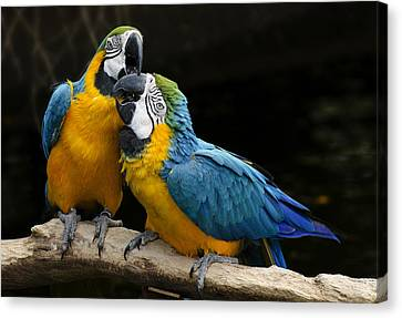 Two Parrots Squawking Canvas Print by Dave Dilli
