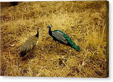 Canvas Print featuring the photograph Two Peacocks Yaking by Amazing Photographs AKA Christian Wilson