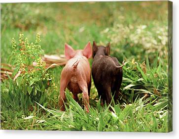 Two Piglets In The Grass Canvas Print