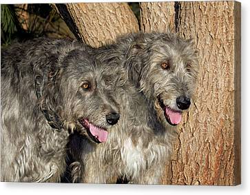 Two Purebred Irish Wolfhounds By A Tree Canvas Print
