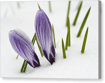 Canvas Print featuring the photograph Two Purple Crocuses In Spring With Snow by Matthias Hauser