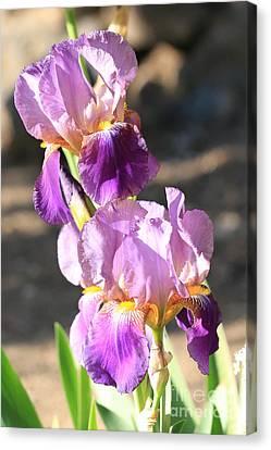 Two Purple Irises Canvas Print by Carol Groenen