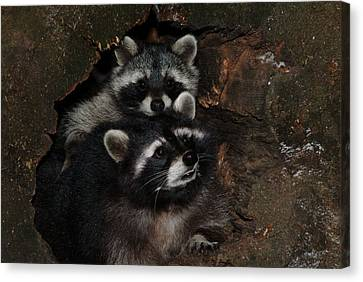 Two Raccoons Canvas Print by Ulrich Kunst And Bettina Scheidulin