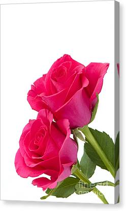 Two Roses Canvas Print by Anne Gilbert