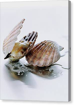 Scallops Canvas Print - Two Scallops by Romulo Yanes