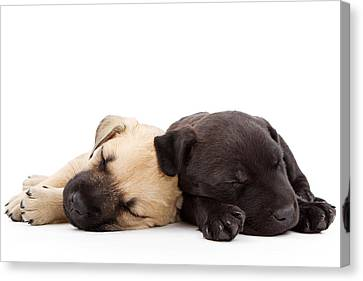 Two Sleeping Puppies Laying Together  Canvas Print by Susan Schmitz